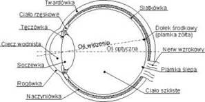 7c599d7805040 Oko składa się z takich elementów jak rogówka, tęczówka, soczewka, ciało  szkliste i płyn wodnisty. Światło, gdy wpada do oka musi przejść przez  wszystkie te ...
