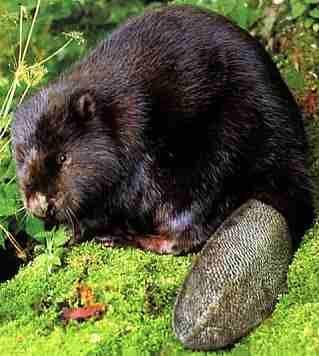 owłosione rurki bobrów