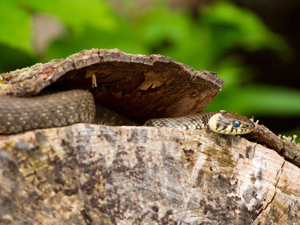 Drapieżne węże w Europie