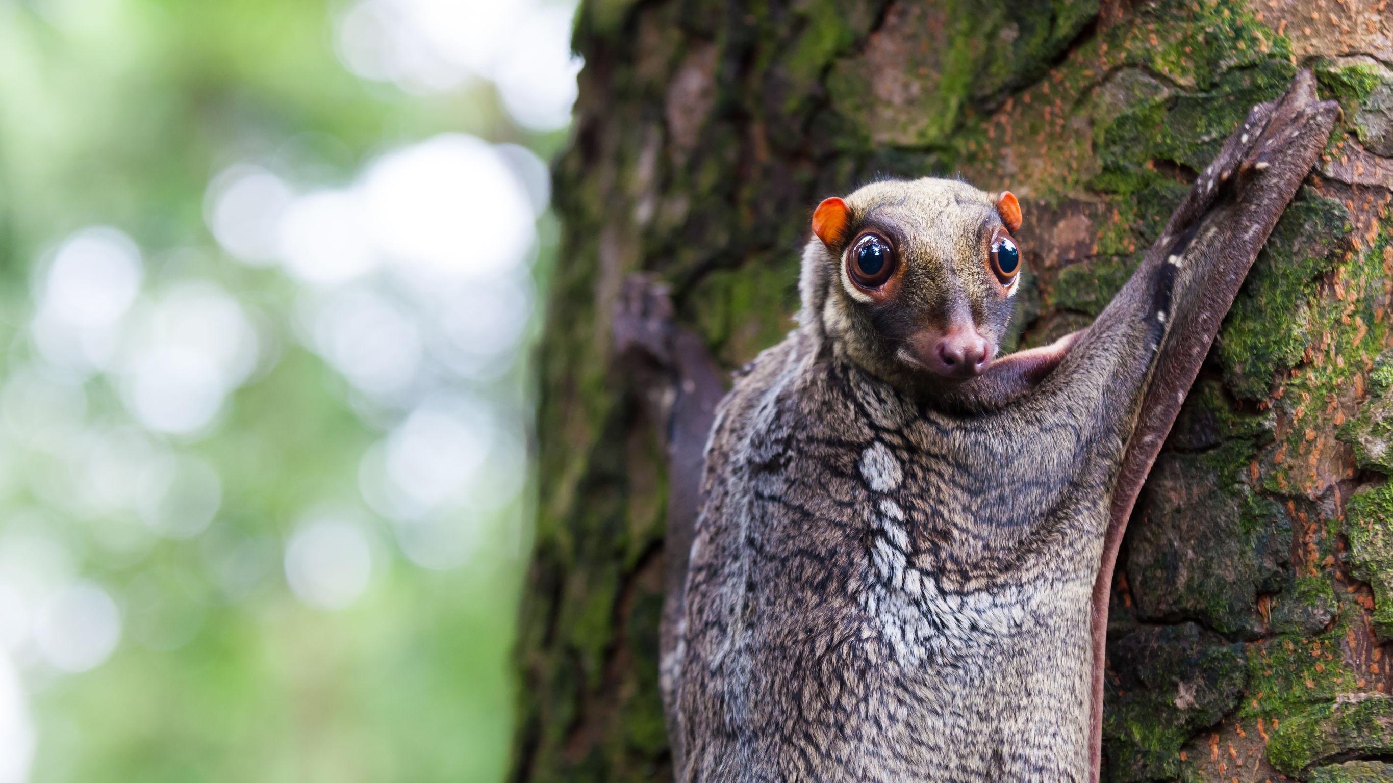 Łasicolot malajski na drzewie