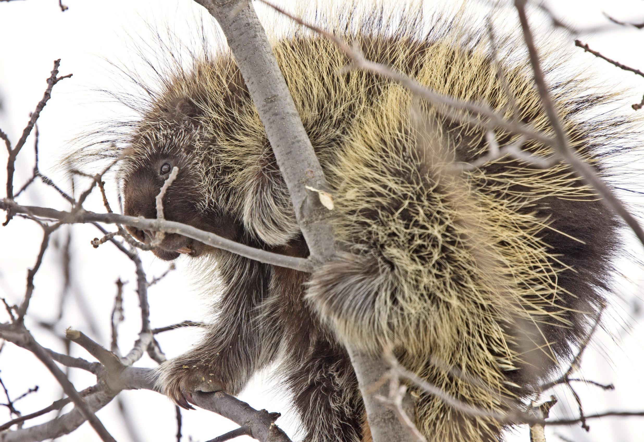 Urson na drzewie