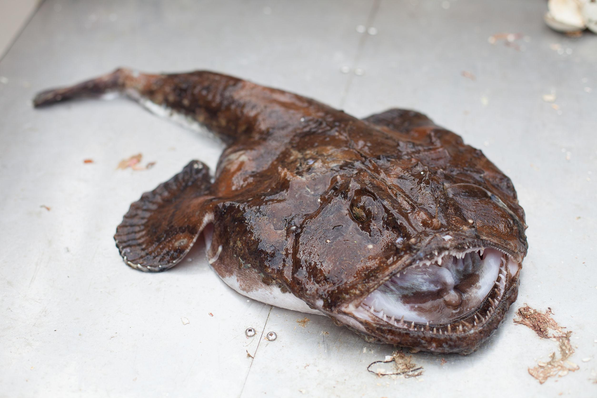 Świeżo złapana żabnica w Norwegii. / fot. 123RF/Picsel