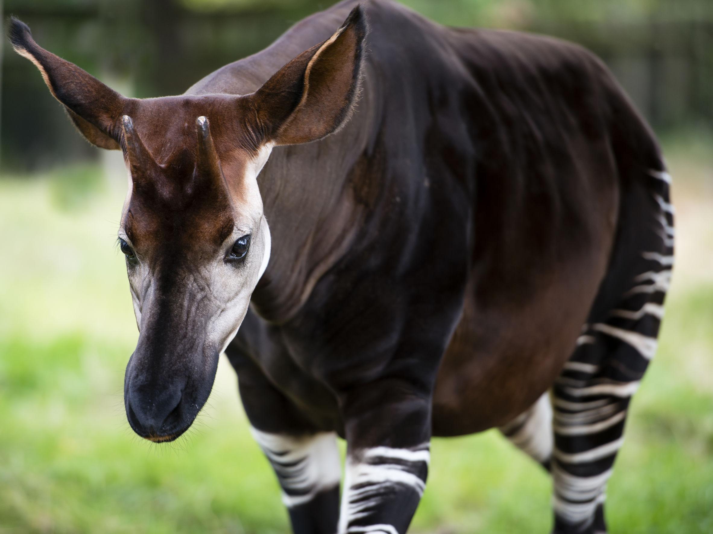 Okapi leśne - zdjęcie
