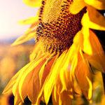 sunflowers_study